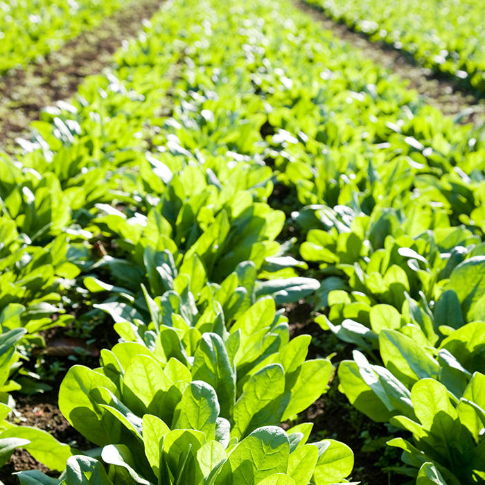 How Spinach Can Give You Food Poisoning