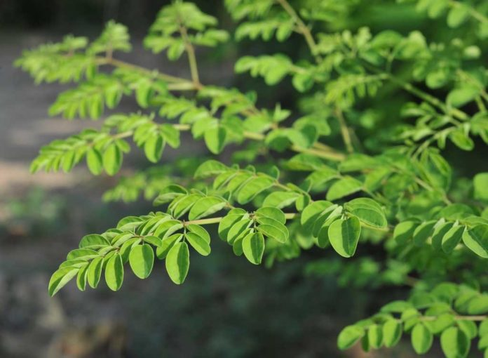 Moringa: The Surprising Superfood With the Health Benefits You Need to Know About