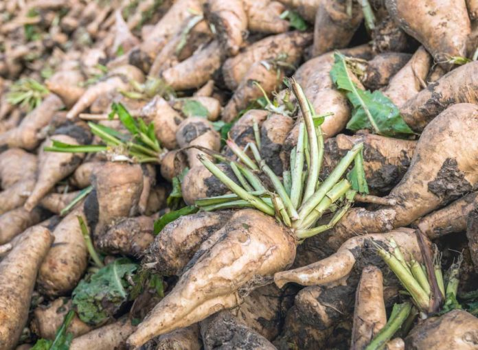 What Is Chicory Root? The Fiber-Rich Food You're Seeing Everywhere